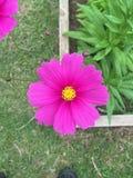 Magentafärgad blomma i blom Royaltyfri Bild