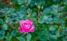 Magentafärgad blomma på grön bakgrund Royaltyfria Bilder
