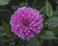 Magentafärgad färgdahlia i blom Fotografering för Bildbyråer