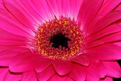 Magentafärgad gerberablomma Fotografering för Bildbyråer