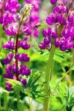 Magentafärgad lupin och att flyga till blommabiet Royaltyfria Foton