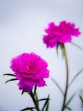 magentafärgad moss steg Royaltyfria Bilder