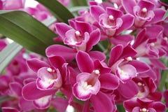 magentafärgad orchid Arkivfoto