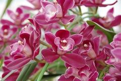 magentafärgad orchid Arkivfoton