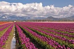 magentafärgad tulpan för fält Royaltyfri Fotografi