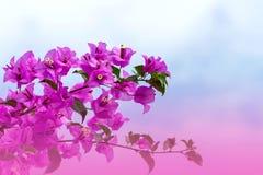 Magentafärgade bougainvilleablommor Fotografering för Bildbyråer