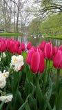 Magentafärgade tulpan som omger ett damm Fotografering för Bildbyråer