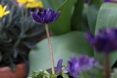 Magentaf?rgad/violett blomma med en suddig bakgrund fotografering för bildbyråer