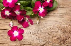 Magentafärgade Vinca Flowers på träbakgrund Royaltyfri Foto