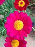 Magentarote Blume Stockfoto