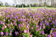 Magentarote Blumen Stockfoto