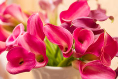 Magentarote Calla-Lilien Stockbilder