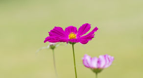 Magentarote Kosmos-Blume Stockbilder