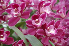 Magentarote Orchidee lizenzfreie stockbilder