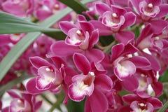 Magentarote Orchidee Stockbild