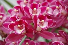 Magentarote Orchidee Stockfoto