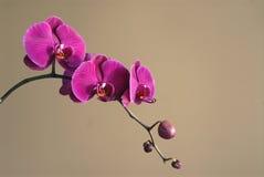 Magentarote Orchideen stockbild