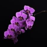 Magentarote Orchideenblumen auf Schwarzem Stockfotos