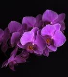 Magentarote Orchideenblumen auf Schwarzem Lizenzfreies Stockfoto