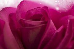 Magentarote Rose Macro Stockfotografie