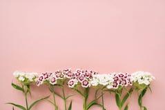 Magentarote und weiße Flammenblumen auf einem blassen - rosa Pastellhintergrund Stockfotografie