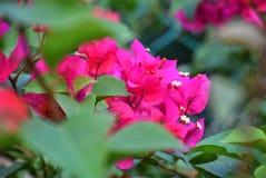 Magentarotes Bouganvillamit den Blättern blured stockfotografie