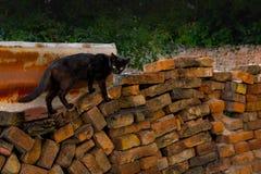 Mager svart katt på en vägg för lös tegelsten Royaltyfri Bild