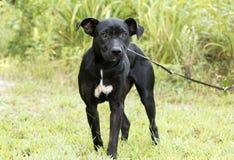 Magert svart fotografi för adoption för hund för avel för labbPitbull blandning royaltyfria foton