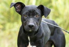 Magert svart fotografi för adoption för hund för avel för labbPitbull blandning arkivfoton