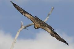 magestic的鹰 免版税图库摄影