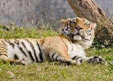 Magestic Bengal tygrysa drzemanie zdjęcia stock