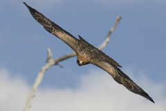 Magestic Hawk. A Hawk spots some prey a prepares for an attack Royalty Free Stock Photography