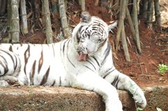 White Tiger licking itself stock image
