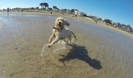 Maggie at Brighton dog beach Royalty Free Stock Images