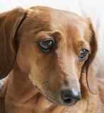 Maggie Portrait. The face of a reddish brown miniature dachshund Royalty Free Stock Image