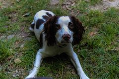 Maggie un pequeño perro divertido Imagen de archivo libre de regalías