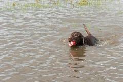 30 maggio 2015 - Beverly Kaufman Dog Park, Katy, TX: gioco dei cani Immagini Stock