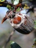 Maggiolino - melolontha melolontha - che si siede sull'olivello spinoso Fotografie Stock Libere da Diritti