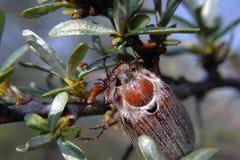 Maggiolino - melolontha melolontha - che si siede sull'olivello spinoso Immagini Stock
