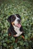 Maggior cane svizzero della montagna Immagini Stock Libere da Diritti