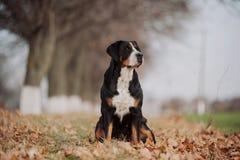 Maggior cane svizzero della montagna Immagini Stock