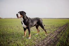 Maggior cane svizzero della montagna Fotografie Stock Libere da Diritti