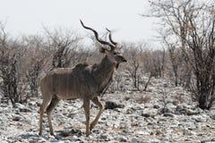 Maggior Kudu fotografie stock libere da diritti