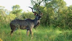 Maggior Kudu al parco nazionale di Kruger Fotografia Stock Libera da Diritti