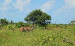 Maggior Kudu al parco nazionale di Kruger Immagine Stock