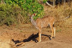 Maggior Kudu, antilope, Botswana fotografie stock
