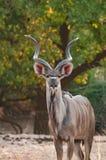 Maggior kudu che posa nel parco nazionale del sud di Luangwa fotografie stock libere da diritti