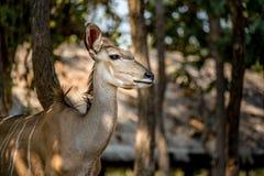 Maggior Kudu femminile Fotografia Stock