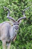 Maggior kudu maschio Immagini Stock