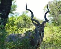 Maggior kudu maschio Fotografie Stock